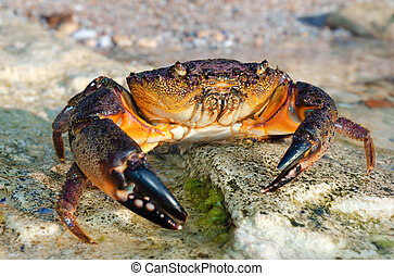 Large Stone crab goes to the water on the coastal rocks