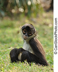 Geoffroys Spider Monkey Ateles geoffroyi, also known as...