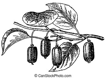 Plant Actinidia - Branch of plant Actinidia isolated on...
