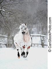 appaloosa pony in winter