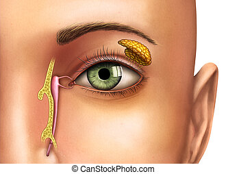Lacrimal glands - Anatomy drawing showing the functioning of...