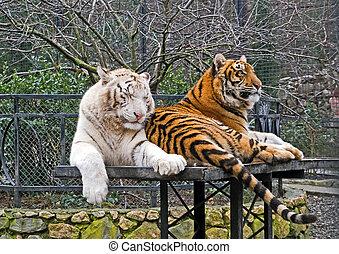 Siberian tigers in zoo. Crimea