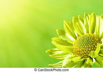 Daisy flower under the sun light, summer backgrounds