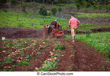 Potato field - working in a potato field with old tractor...
