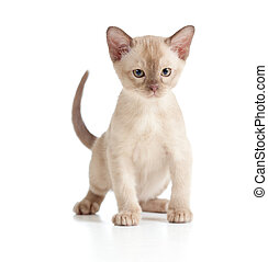 Burmese cat kitten on white