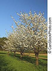 Blooming apple-trees