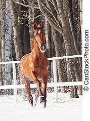 galloping sorrel horse in snow paddock winter sunny day