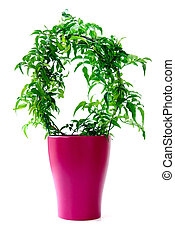 Jasmine plant in a pot. Isolated on white background