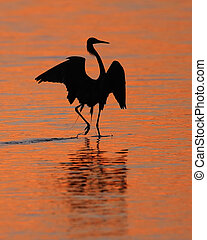 Reddish Egret Silhoeutte at Sunset - Silhouette of Reddish...