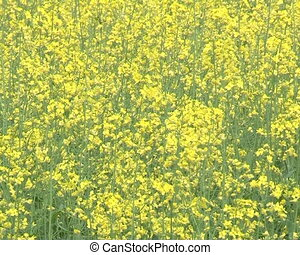 blooming rape field - Closeup of blooming yellow rape field...