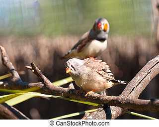 couple of zebra finches