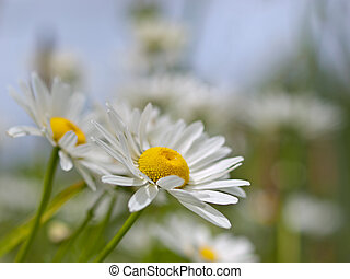 Oxeye daisy - Meadow with flowering Oxeye daisy Leucanthemum...