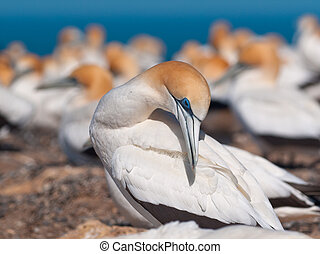 Australasian gannet in a colony is taking care of feathers