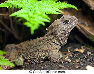 Tuatara reptile - Tuatara, also called living fossil, is a...