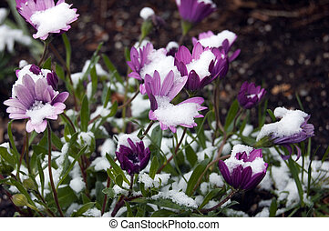 African daisy (osteospermum) under snow in spring time