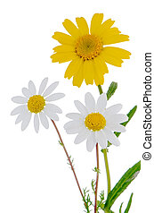 Daisy flowers - Profile view of beautiful daisy flowers...