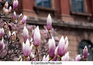 Magnolia on Back Bay brownstones background in early spring