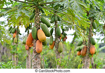 papaya - Bunch of papayas hanging from the tree