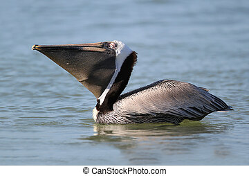 Brown Pelican with Pouch Extended