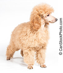 Apricot poodle puppy portrait on a white background