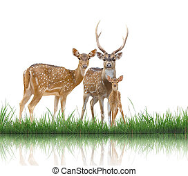 axis deer family with green grass isolated on white...
