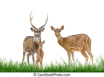 axis deer family with green grass isolated