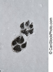 Foot prints in the snow - A Large dog leaves a trail in the...
