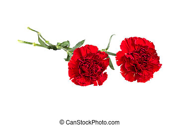 bud of flower of carnation on a white background - a bud of...