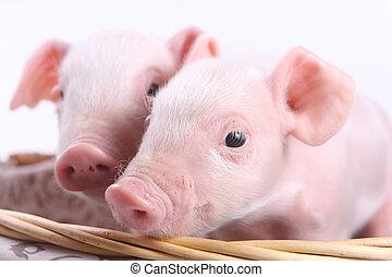 dos, poco, cerdos