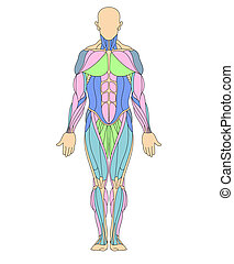 Human muscular system - Anatomy illustration of human...