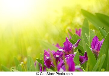 Spring Flowers in the Bright Sunlight - Spring Purple...