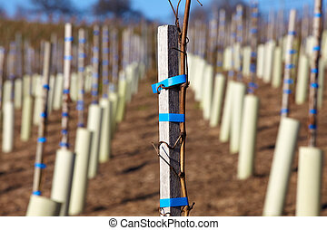 New wine vines planted on a vineyard in Baden-Wuerttemberg