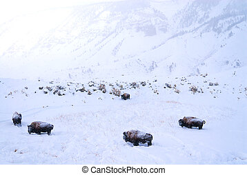 Buffalo covered in snow - Herd of Buffalo covered in snow in...
