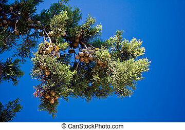 pine-tree branches with cones