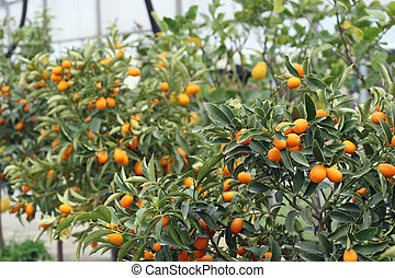 cultivation of citrus fruits of all kinds in a greenhouse in Sicily