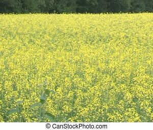 flower rapeseed field