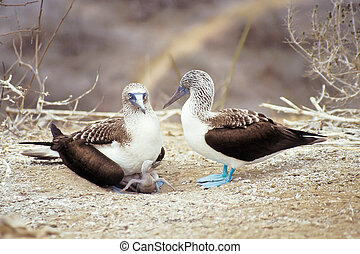 Blue-footed boobies, Galapagos Islands, Ecuador -...
