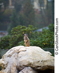 African animal - small creature on a rock at the zoo