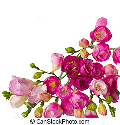 pink freesias - pink blooming freesias isolated on white...