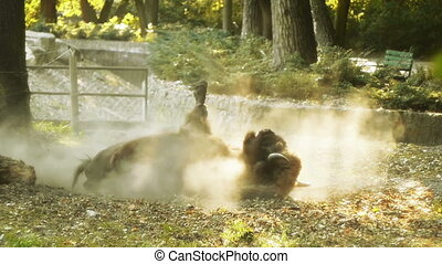 Bison Rolling and Getting Up - European bison rolling on the...