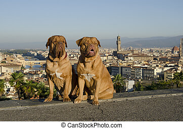 Dogs against Florence city view, Italy