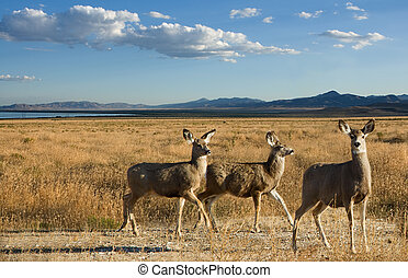 Mule deer in a scenic landscape, three female deer mountains...