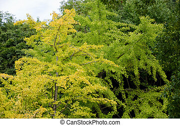 Ginkgo tree - Yellow leaves of a Ginkgo biloba on the tree