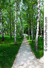 Path between birches
