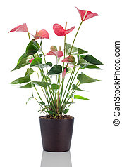 Beautiful Anthedesia anthurium with red, pink and green...