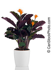 Eternal flame flower (calathea crocata) in white flowerpot...