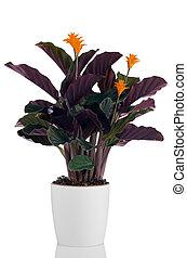 örökkévaló,  (calathea, virág, láng,  crocata)