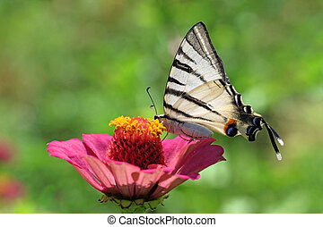 garden: butterfly (Scarce Swallowtail) on flower (zinnia)