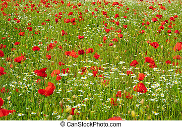 Poppy - Papaver rhoeas - Common names: red weed, corn poppy,...
