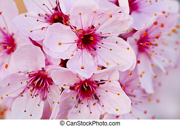 Peach flowers - Close up of pink peach flowers from a tree